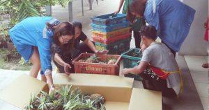 K P N Green to buy 9 T surplus pineapples to ease oversupply